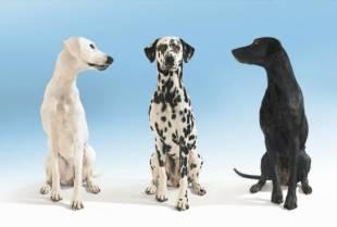Zene i parenje pasa Trudnoća kod